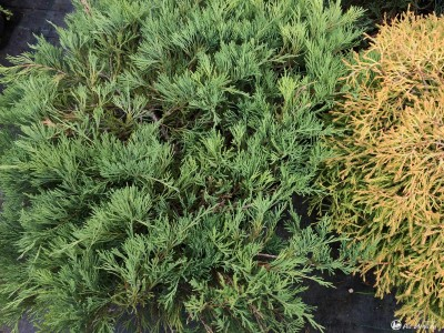 Kadagys padrikasis ,Andora Compacta' (lot. Juniperus horizontalis) -c10