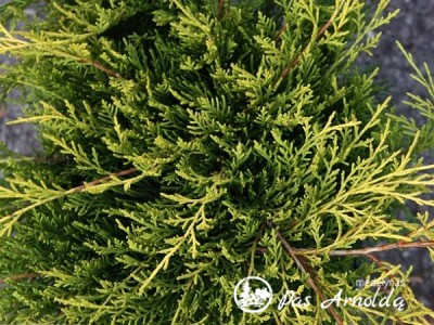 Kadagys tarpinis ,Old Gold' (lot. Juniperus x pfitzeriana)