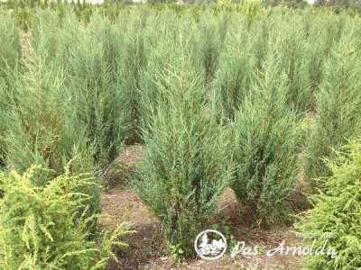 Kadagys uolinis ,Blue Arrow' (lot. Juniperus scopulorum)