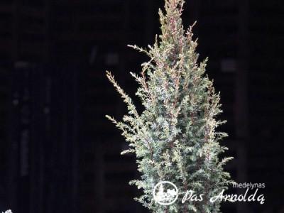 Kadagys paprastasis ,Arnold' (lot. Juniperus communis) -c7,5