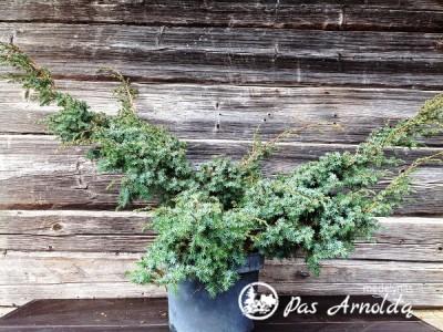 Kadagys kininis ,Blue Alps' (lot. Juniperus chinensis) -c12