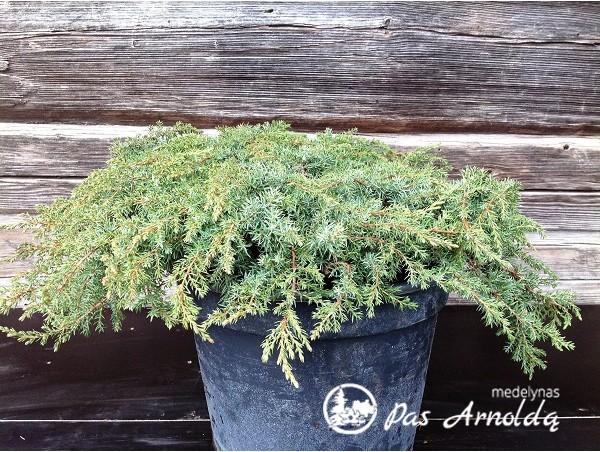 Kadagys paprastasis ,Green Carpet' (lot. Juniperus communis) -c10