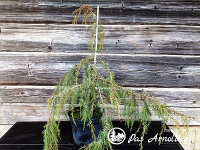 Kadagys paprastasis ,Horstmann' (lot. Juniperus communis)