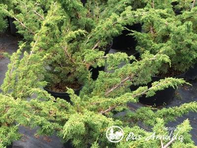 Kadagys kininis ,Blaauw' (lot. Juniperus chinensis) -c16