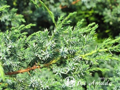 Kadagys kininis ,Blue Alps' (lot. Juniperus chinensis)