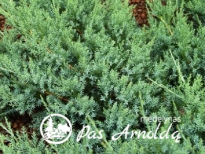 Kadagys padrikasis  ,Agnieszka' (lot. Juniperus horizontalis)