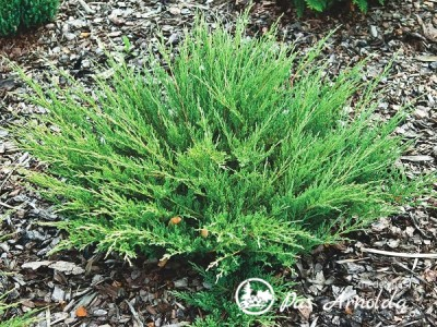 Kadagys padrikasis ,Andora Compacta' (lot. Juniperus horizontalis)