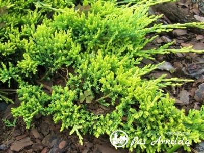 Kadagys padrikasis  ,Golden Carpet' (lot. Juniperus horizontalis) -c5