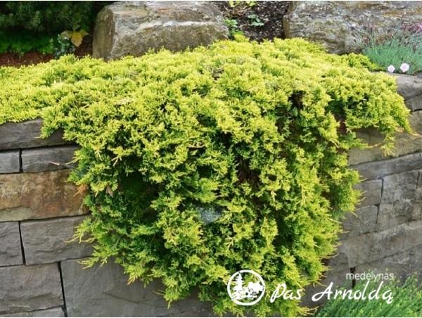 Kadagys padrikasis  ,Golden Carpet' (lot. Juniperus horizontalis) -c3