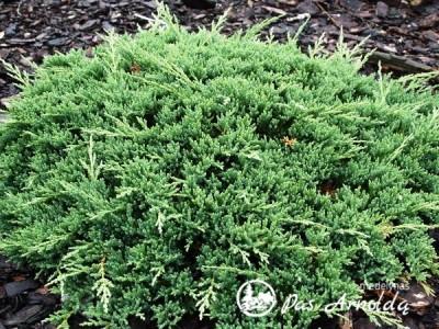 Kadagys padrikasis ,Prince of Wales' (lot. Juniperus horizontalis)