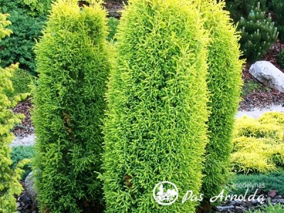 Kadagys paprastasis ,Gold Cone' (lot. Juniperus communis)
