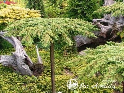 Kadagys paprastasis ,Green Carpet' (lot. Juniperus communis) -c5 SK