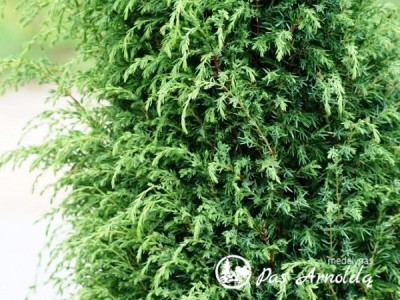 Kadagys paprastasis ,Hibernica' (lot. Juniperus communis)