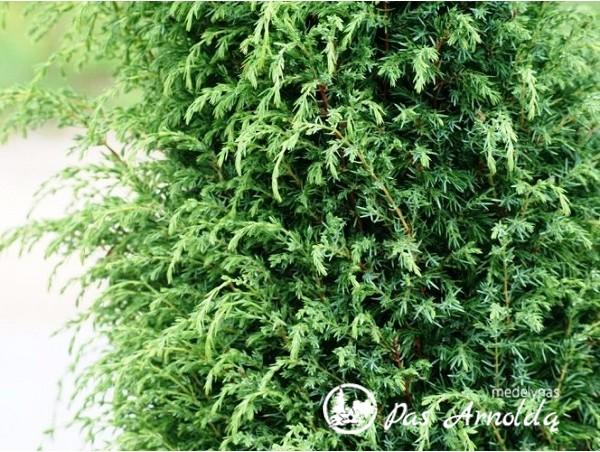 Kadagys paprastasis ,Hibernica' (lot. Juniperus communis) -G-1m