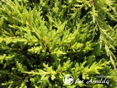 Kadagys tarpinis ,Mordigan Gold' (lot. Juniperus x pfitzeriana)