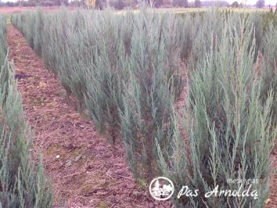 Kadagys uolinis ,Blue Arrow' (lot. Juniperus scopulorum) -G-1,2-1,5