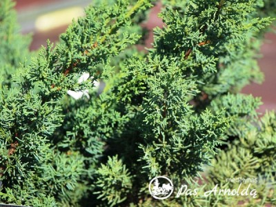 Kadagys kininis ,Blaauw' (lot. Juniperus chinensis) -c7,5
