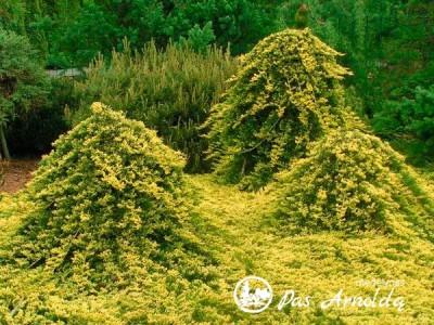 Kadagys padrikasis  ,Golden Carpet' (lot. Juniperus horizontalis) -c5 SK