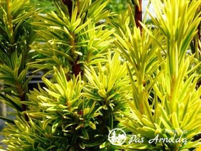 Kukmedis europinis ,David' (lot. Taxus baccata)