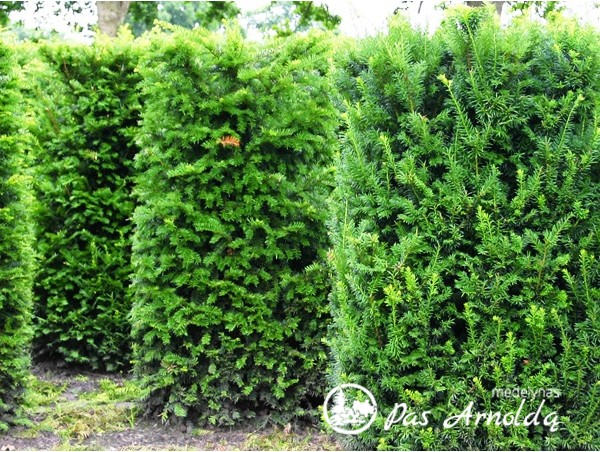 kukmedis europinis hicksii 39 lot taxus baccata. Black Bedroom Furniture Sets. Home Design Ideas