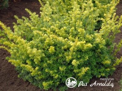 Kukmedis europinis ,Summergold' (lot. Taxus baccata)