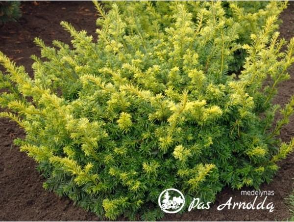 Kukmedis europinis ,Summergold' (lot. Taxus baccata) -c3