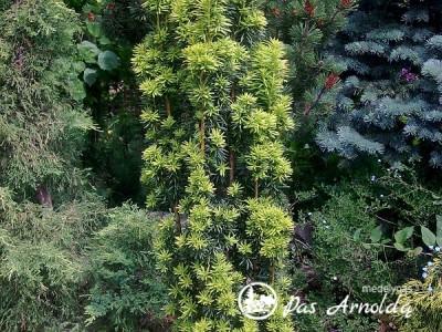 Kukmedis europinis ,Fastigiata' (lot. Taxus baccata)