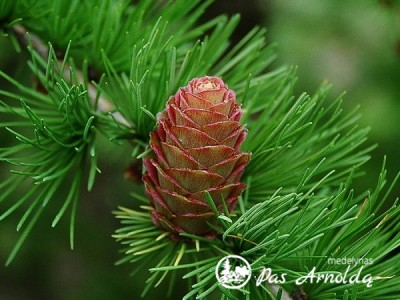 Maumedis europinis ,Little Bogle' (lot. Larix decidua)