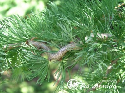 Maumedis japoninis ,Diana' (lot. Larix kaempferi)