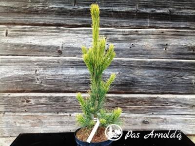 Pušis kedrinė ,Aurea' (lot. Pinus cembra)