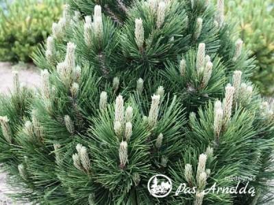 Pušis baltažievė ,Malinki' (lot. Pinus heldreichii)
