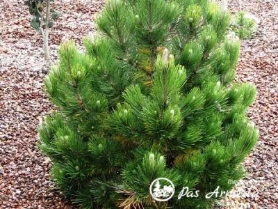 Pušis baltažievė ,Nana' (lot. Pinus heldreichii)