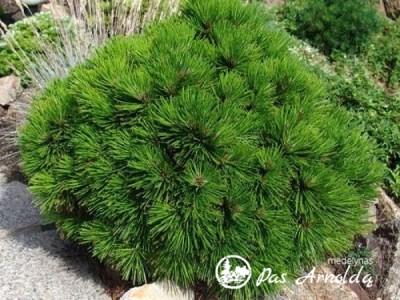 Pušis baltažievė ,Schmidtii' (lot. Pinus heldreichii)