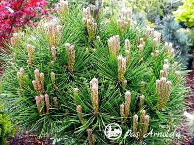 Pušis hondinė 'Low Glow' (lot. Pinus densiflora) -c3