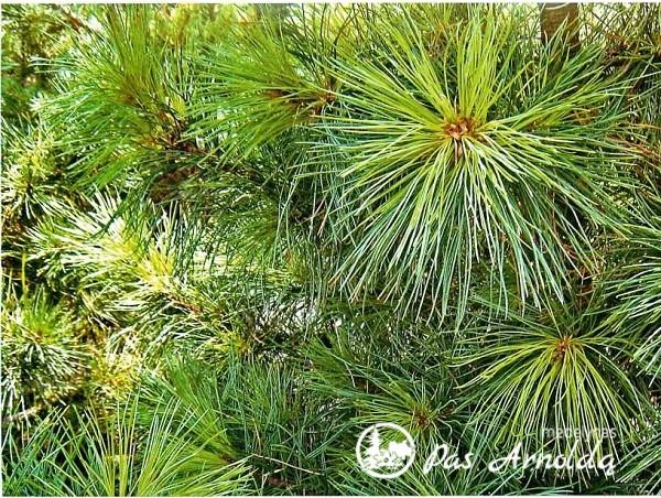 Pušis kedrinė (lot. Pinus cembra) -c2