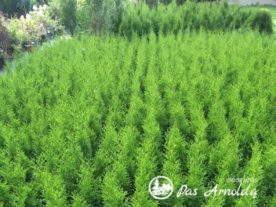 Tuja vakarinė  ,Smaragd' (lot. Thuja occidentalis) -0,4-0,5m