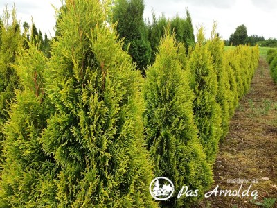Tuja vakarinė  ,Janed Gold' (lot. Thuja occidentalis)