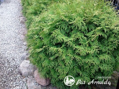 Tuja vakarinė  ,Globosa' (lot. Thuja occidentalis)
