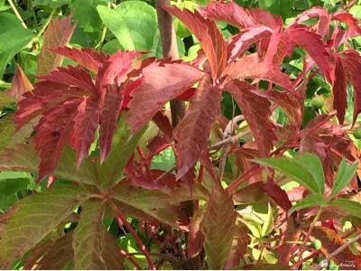 Vinvytis penkialapis (lot.Parthenocissus quinquefolia)