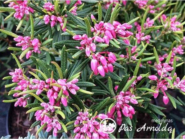 Balžuva siauralapė (lot. Andromeda polifolia) -c2