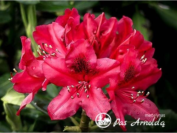 Rododendras ,Nova Zembla' (lot. Rhododendron)-c5