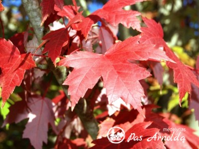 Klevas raudonasis ,October Glory' (lot. Acer rubrum) -c7