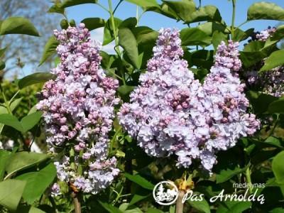 Alyva paprastoji ,Michel Buchner' (lot. Syringa vulgaris) -c7,5 SK