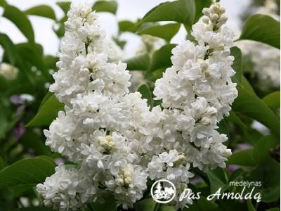 Alyva paprastoji ,Madame Lemoine' (lot. Syringa vulgaris) -c7,5 SK