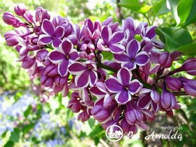 Alyva paprastoji ,Sensation' (lot. Syringa vulgaris) -c7,5 SK