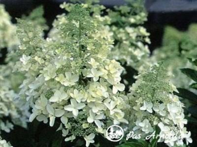 Hortenzija šluotelinė ,Magical Himalaya / Kolmahima' (lot. Hydrangea paniculata)