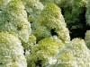Hortenzija šluotelinė ,Limelight' (lot. Hydrangea paniculata)