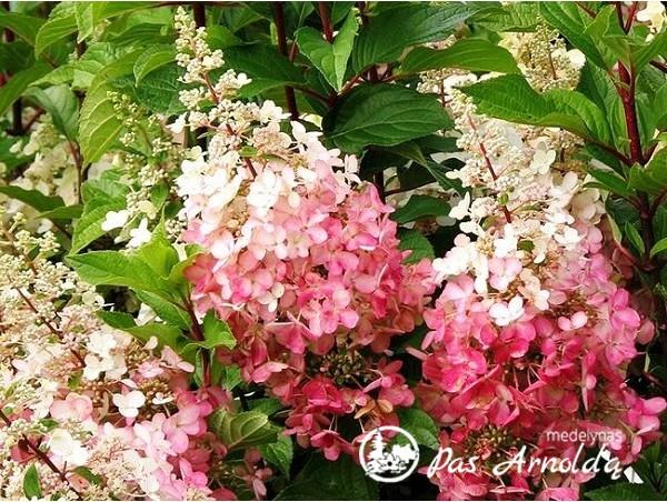 Hortenzija šluotelinė ,Pinky Winky' (lot. Hydrangea paniculata)