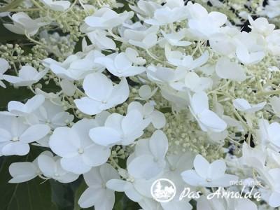 Hortenzija šluotelinė ,White Moth' (lot. Hydrangea paniculata)