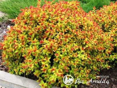 Lanksva japoninė Magic Carpet 'Walbuma' (lot. Spiraea japonica)